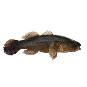 急凍整條筍殼魚 1