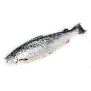 整條新鮮三文魚 1